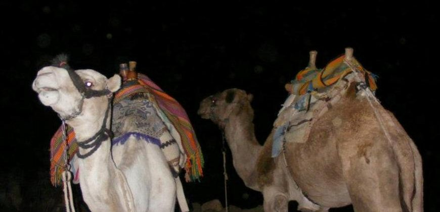 Camels with rugs and blankets for seating on their backs, at night