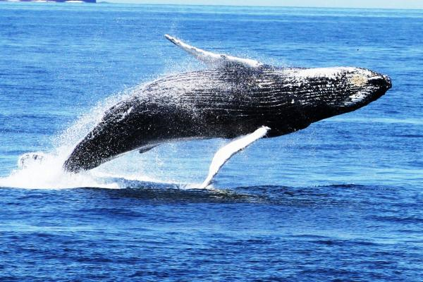 Whale breaching the water