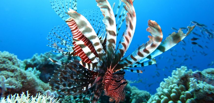 A white and black lionfish with feathery tentacles swimming past hard corals