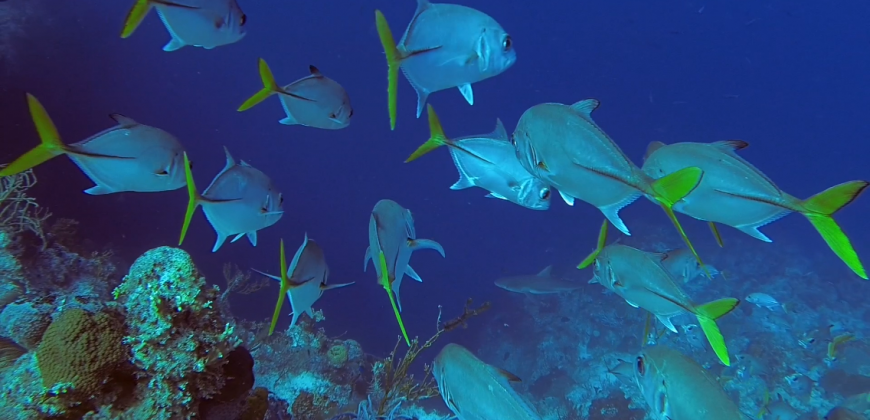 A school of silver and yellow fish cruising the reef