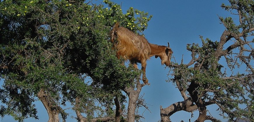 A brown goat in a tree, eating the prickly green leaves and yellow flowers