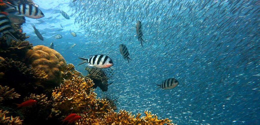 Shoals of tiny silver fish with a few black and white striped larger fish, with some hard yellow corals in the foreground