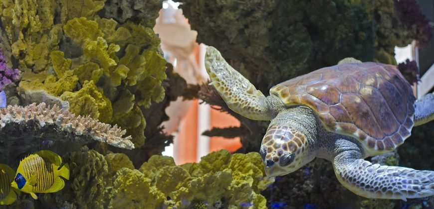 A little turtle swimming alongside hard and soft corals