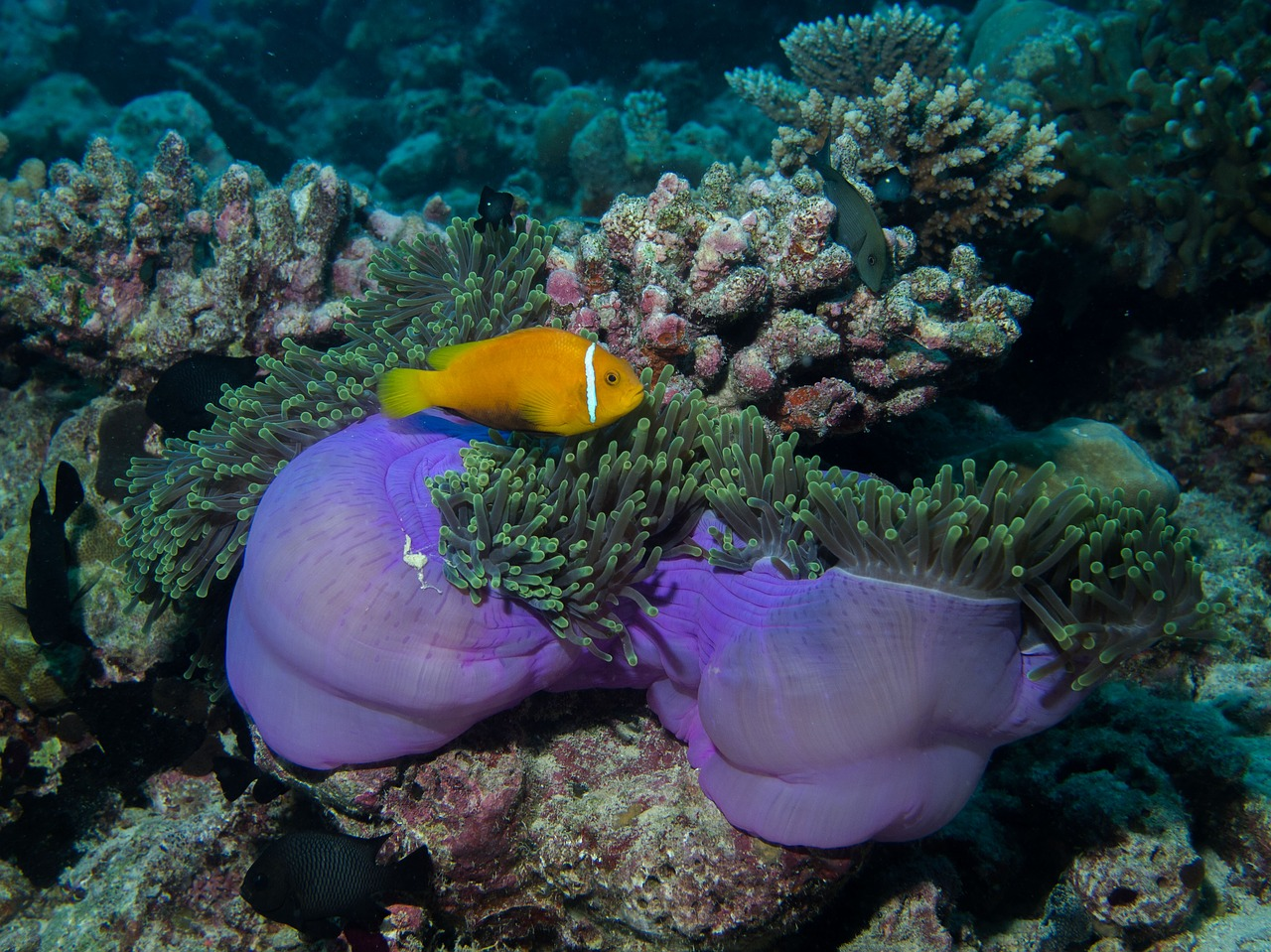 A little orange fish with a bright white stripe down its neck cruising over iridescent purple soft corals