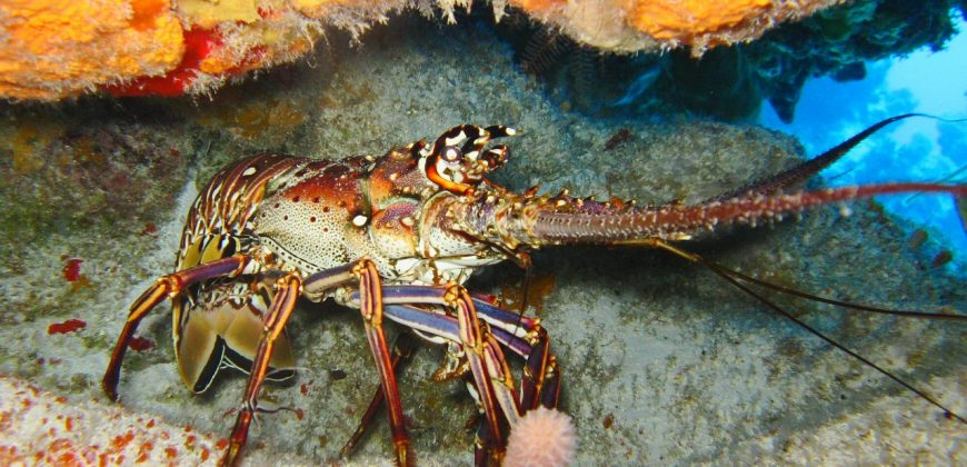 A lobster hiding under a coral ledge
