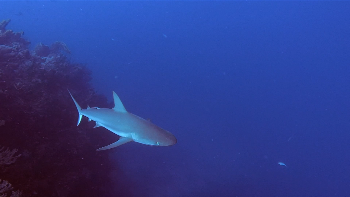 A reef shark cruising along a deep section of coral reef