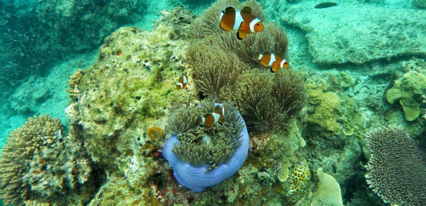 Clown fish of orange and white swimming in soft corals
