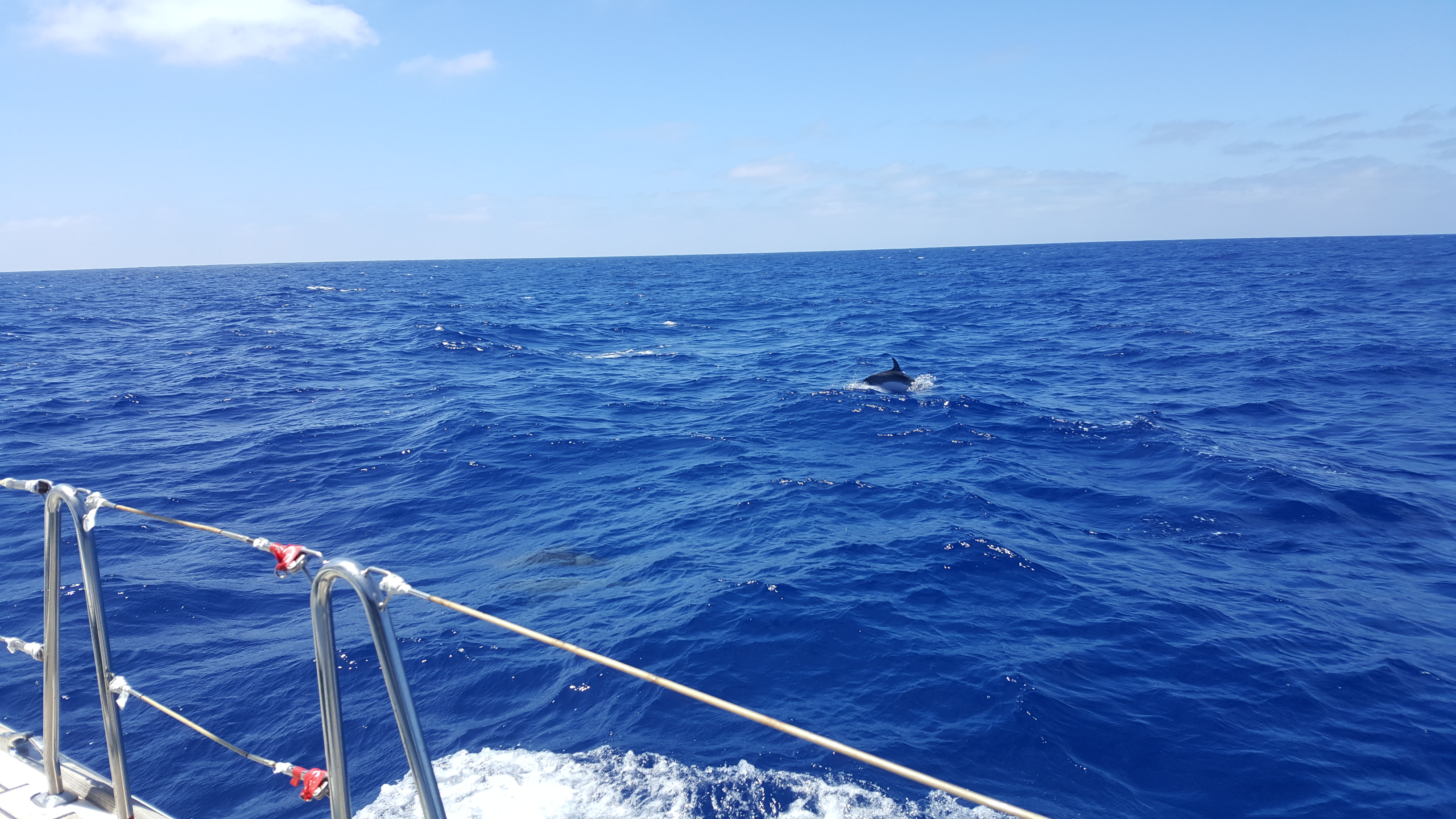 Atlantic dolphins off the side of the boat, they have black backs and much lighter undersides. The ocean is a gorgeous bright blue